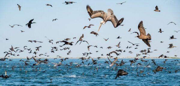 seabirds san ignacio lagoon
