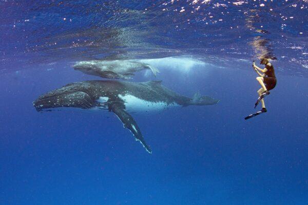 Tonga whale swimming tour