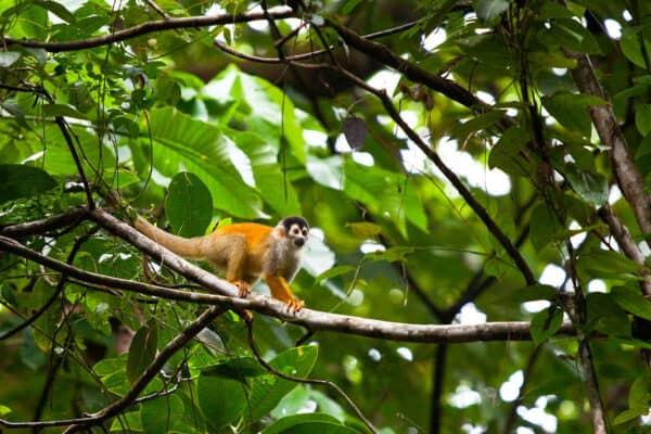 squirrel monkey in rainforest