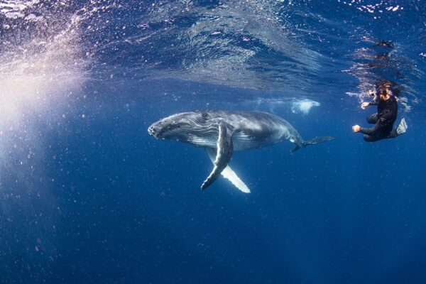 swimming with humpback whales in Tonga