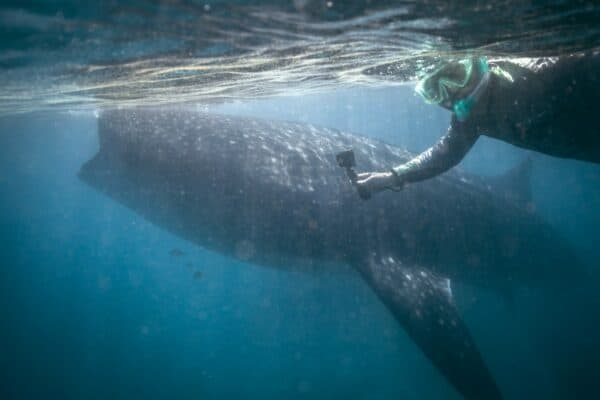 snorkeler with whale shark