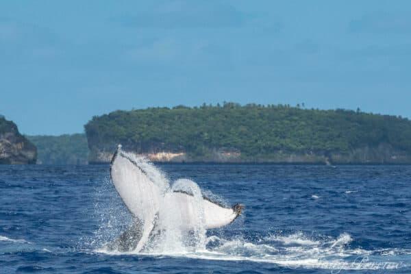 Tonga humpback whales flukes