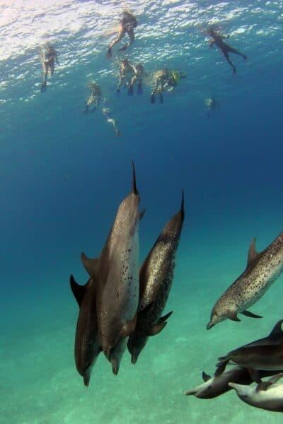volunteers swim with dolphins