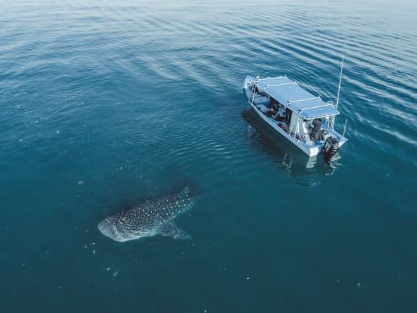 Whale shark and boat in Baja