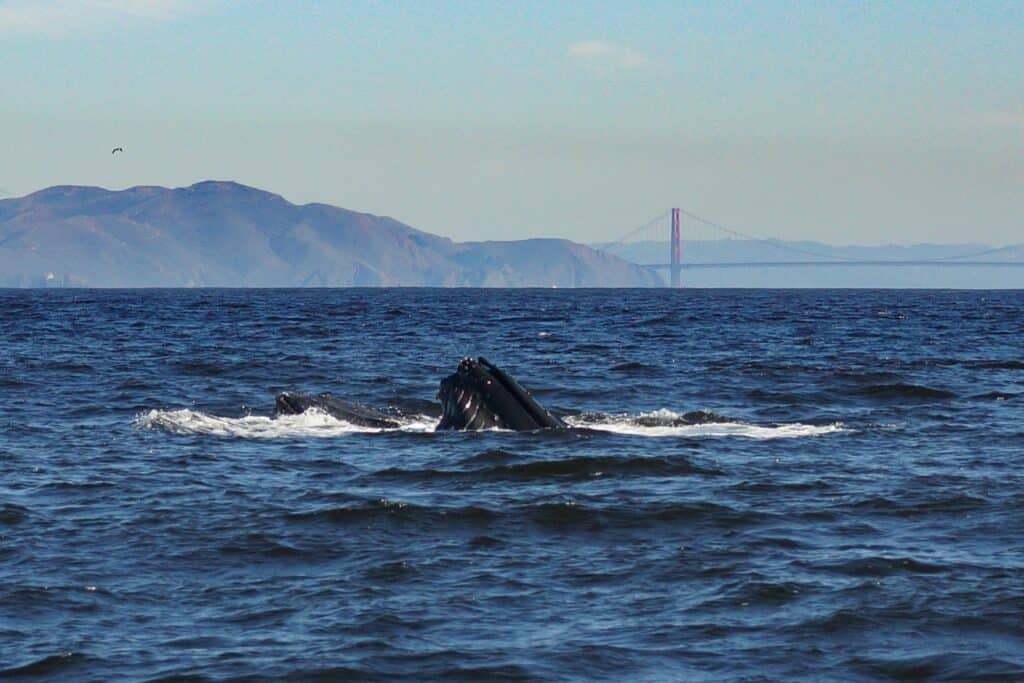 whale watching san francisco