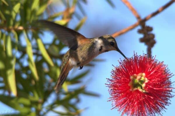 Endemic Bahamas Woodstar Hummingbird