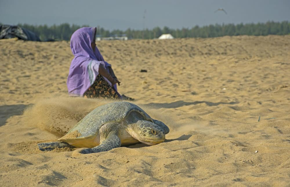olive ridley turtle nesting in India