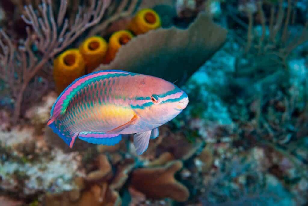 Princess Parrotfish while snorkeling