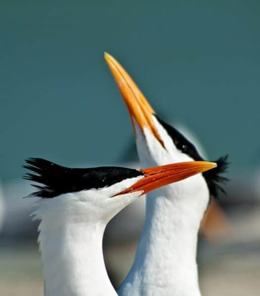 Royal Terns on Bahamas cruise
