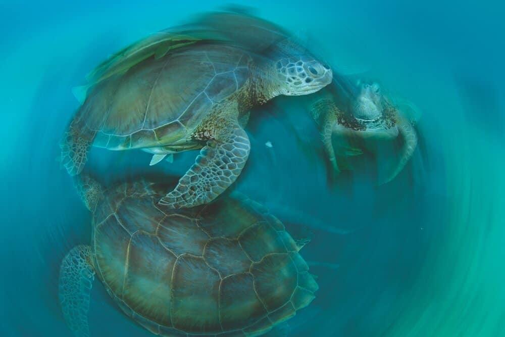 green sea turtles photo by Thomas Peschak