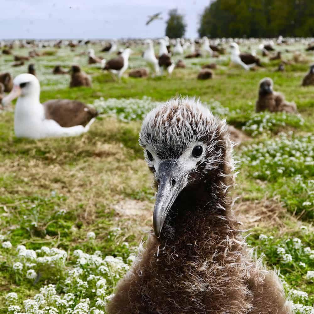 Adopt-an-albatross-Laysan-chick-2