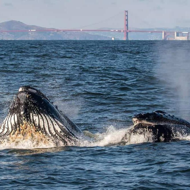 Whales at Golden Gate