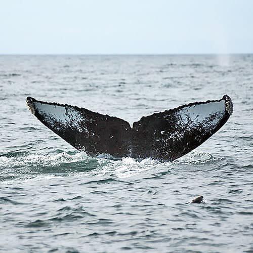 Adopt a Whale CRC-11815