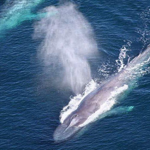 farallon-islands-blue-whales-header