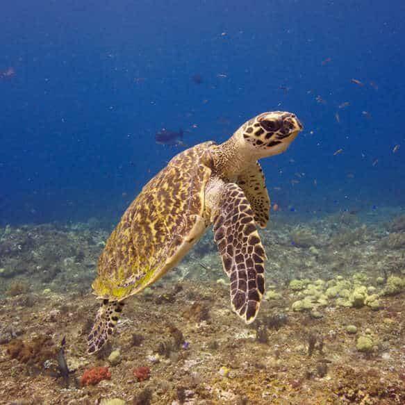 hawksbill-turtle-adoption