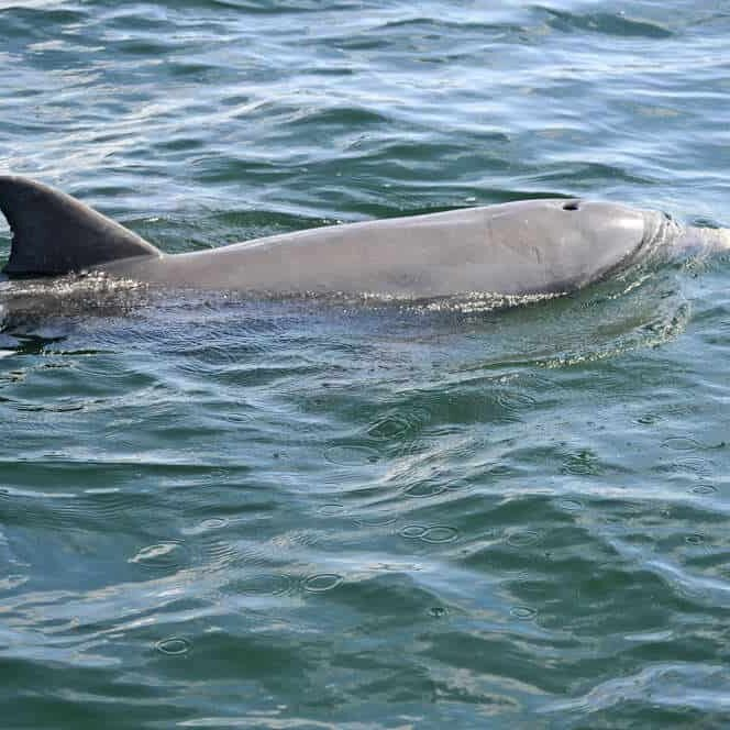 Toots Dolphin Image